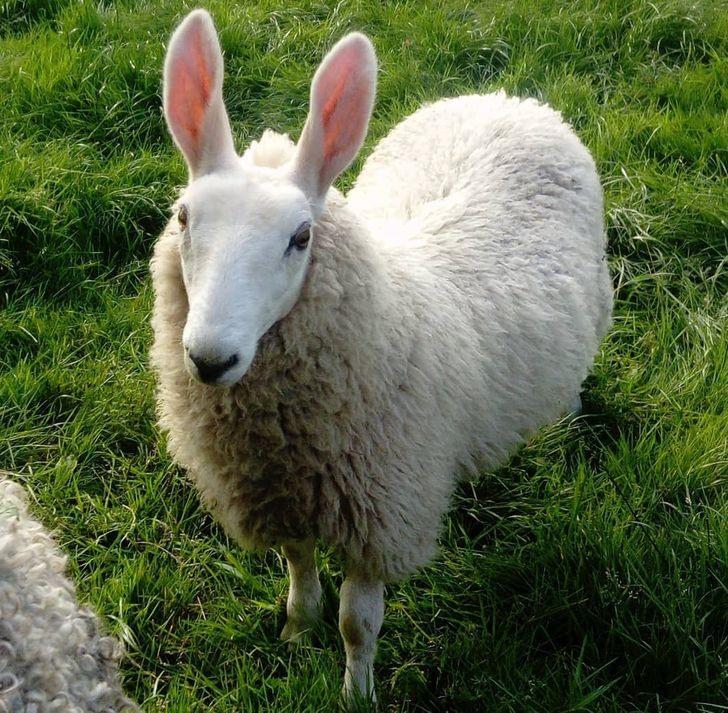 nhau thai cừu và sữa ong chúa loại nào tốt